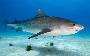 Pulsa en la imagen para verla en tamaño completo  Nombre: tiger-shark_1973687b.jpg Visitas: 445 Tamaño: 49.6 KB ID: 1855