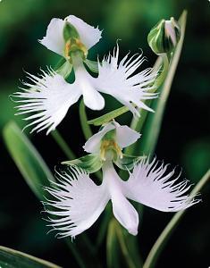 Pulsa en la imagen para verla en tamaño completo  Nombre: Habenaria Radiataaaa.jpg Visitas: 2732 Tamaño: 73.1 KB ID: 1297