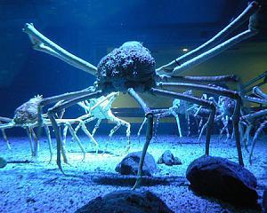 Pulsa en la imagen para verla en tamaño completo  Nombre: cangrejo.jpg Visitas: 1296 Tamaño: 31.9 KB ID: 2056