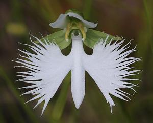 Pulsa en la imagen para verla en tamaño completo  Nombre: Habenaria Radiataa.jpg Visitas: 2325 Tamaño: 82.4 KB ID: 1295