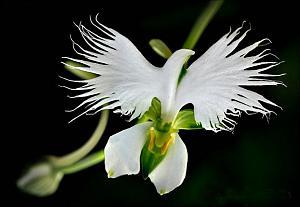 Pulsa en la imagen para verla en tamaño completo  Nombre: Habenaria Radiata.jpg Visitas: 11274 Tamaño: 29.4 KB ID: 1294