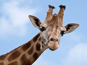 Pulsa en la imagen para verla en tamaño completo  Nombre: jirafa 2.jpg Visitas: 1019 Tamaño: 81.8 KB ID: 1396