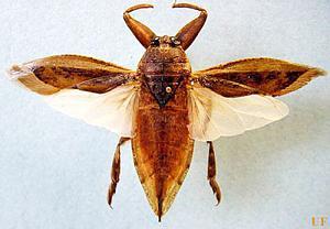 Pulsa en la imagen para verla en tamaño completo  Nombre: belostomatidae06.jpg Visitas: 287 Tamaño: 53.7 KB ID: 2059