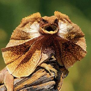 Pulsa en la imagen para verla en tamaño completo  Nombre: lagarto.jpg Visitas: 530 Tamaño: 52.6 KB ID: 2063
