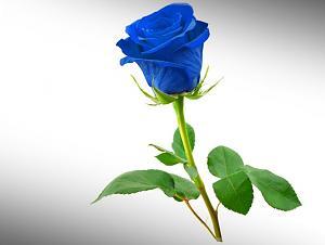 Pulsa en la imagen para verla en tamaño completo  Nombre: 514075__blue-rose_p.jpg Visitas: 24271 Tamaño: 36.9 KB ID: 1797