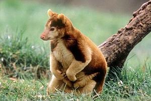 Pulsa en la imagen para verla en tamaño completo  Nombre: canguro.jpg Visitas: 563 Tamaño: 58.9 KB ID: 2060