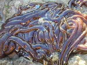 Pulsa en la imagen para verla en tamaño completo  Nombre: gusano.jpg Visitas: 1778 Tamaño: 60.3 KB ID: 2058